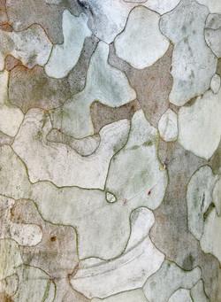 Pinus bungeana 29