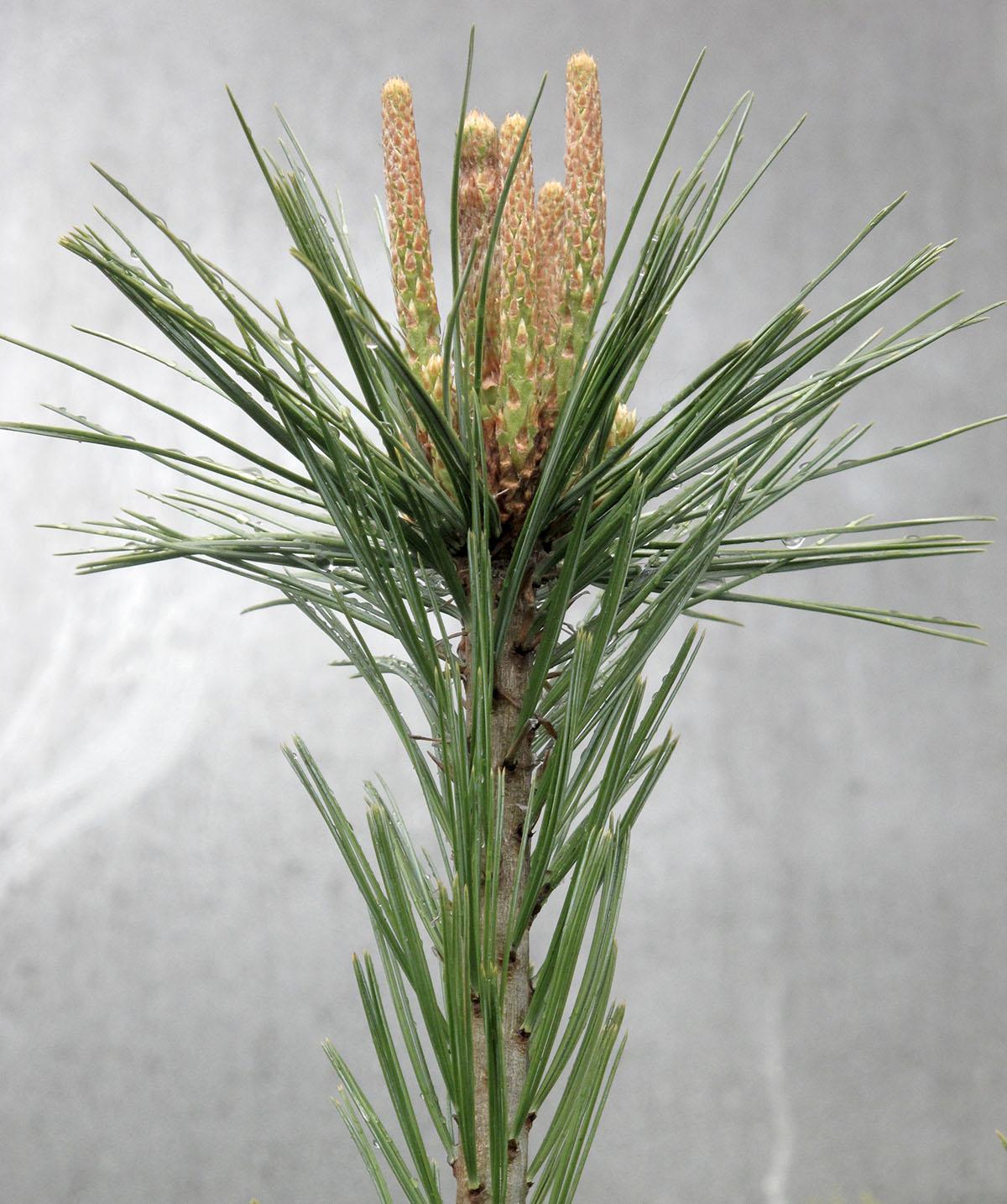 Pinus flexilis Vanderwolf's Pyramid 8