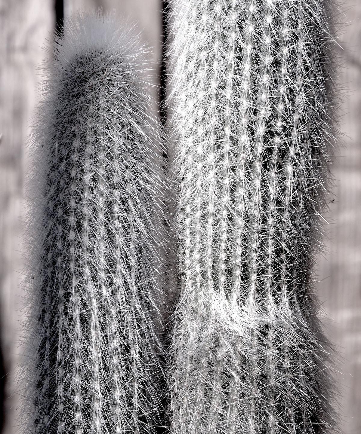 Cleistocactus strausii 1