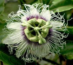 Passiflora edulis 13
