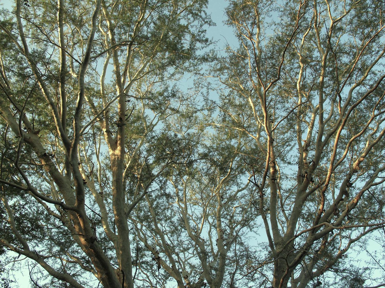 Acacia-xanthoploea-40-