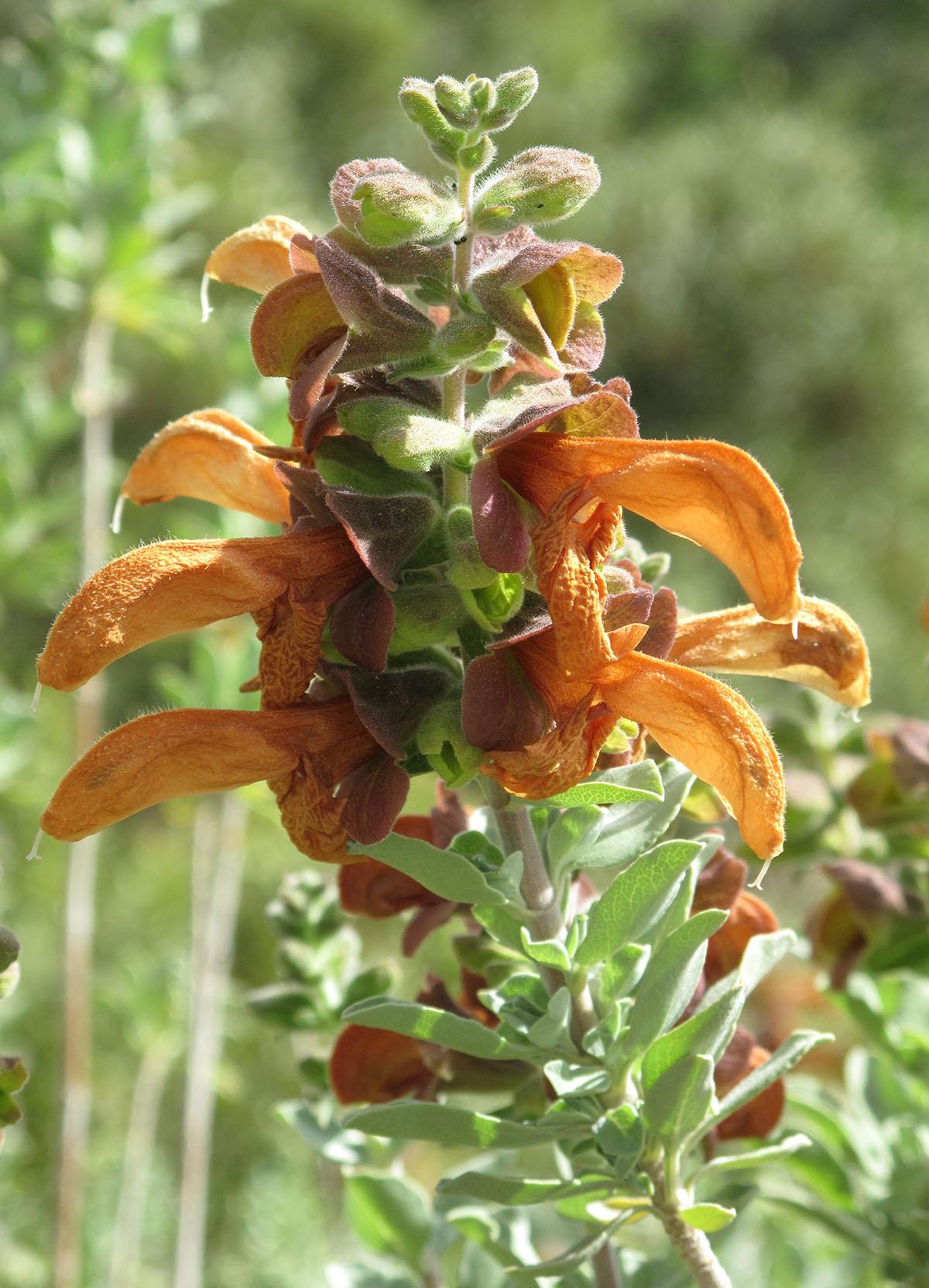 Salvia africana-lutea 37
