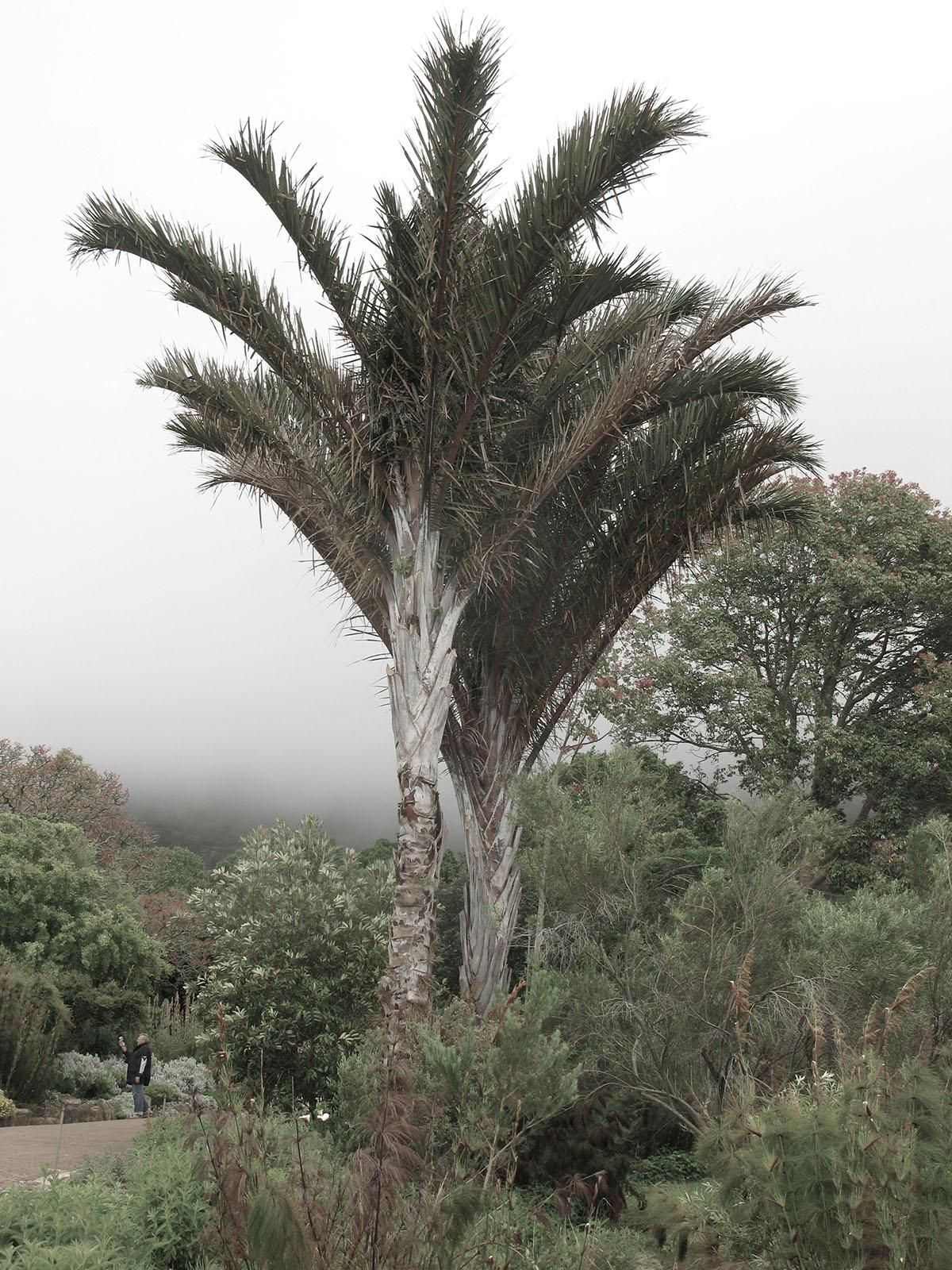 Raphia australis 20