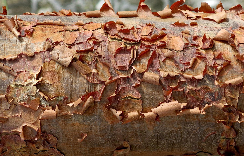 Acer-griseum-20-