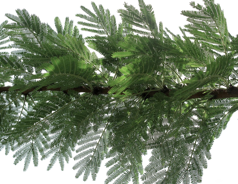 Acacia-gerrardii-gerrardii-22-