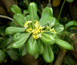 Pittosporum tobira B 51