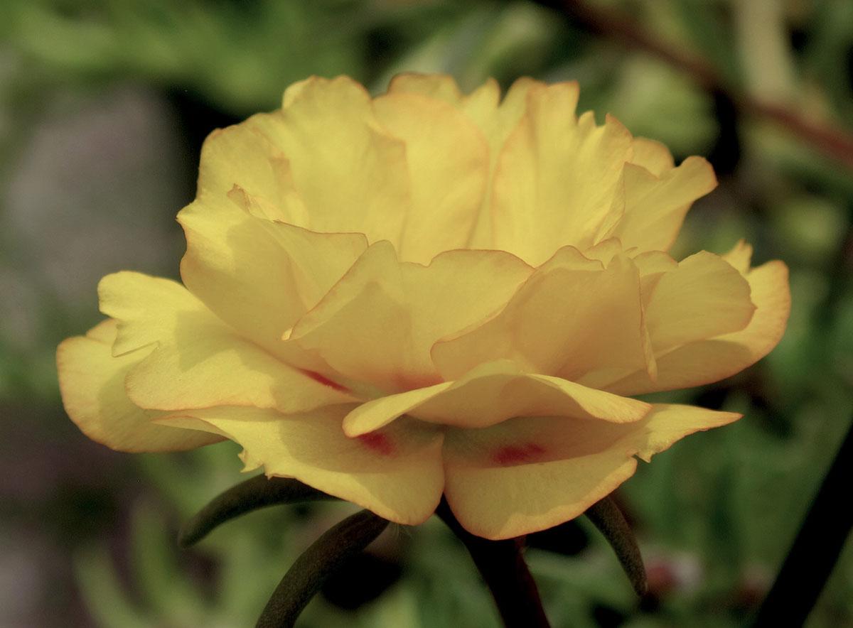 Portulaca grandiflora 6
