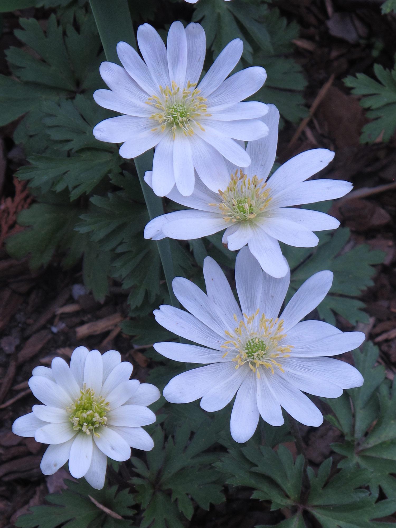Anemone-blanda-White-Splendour-1-