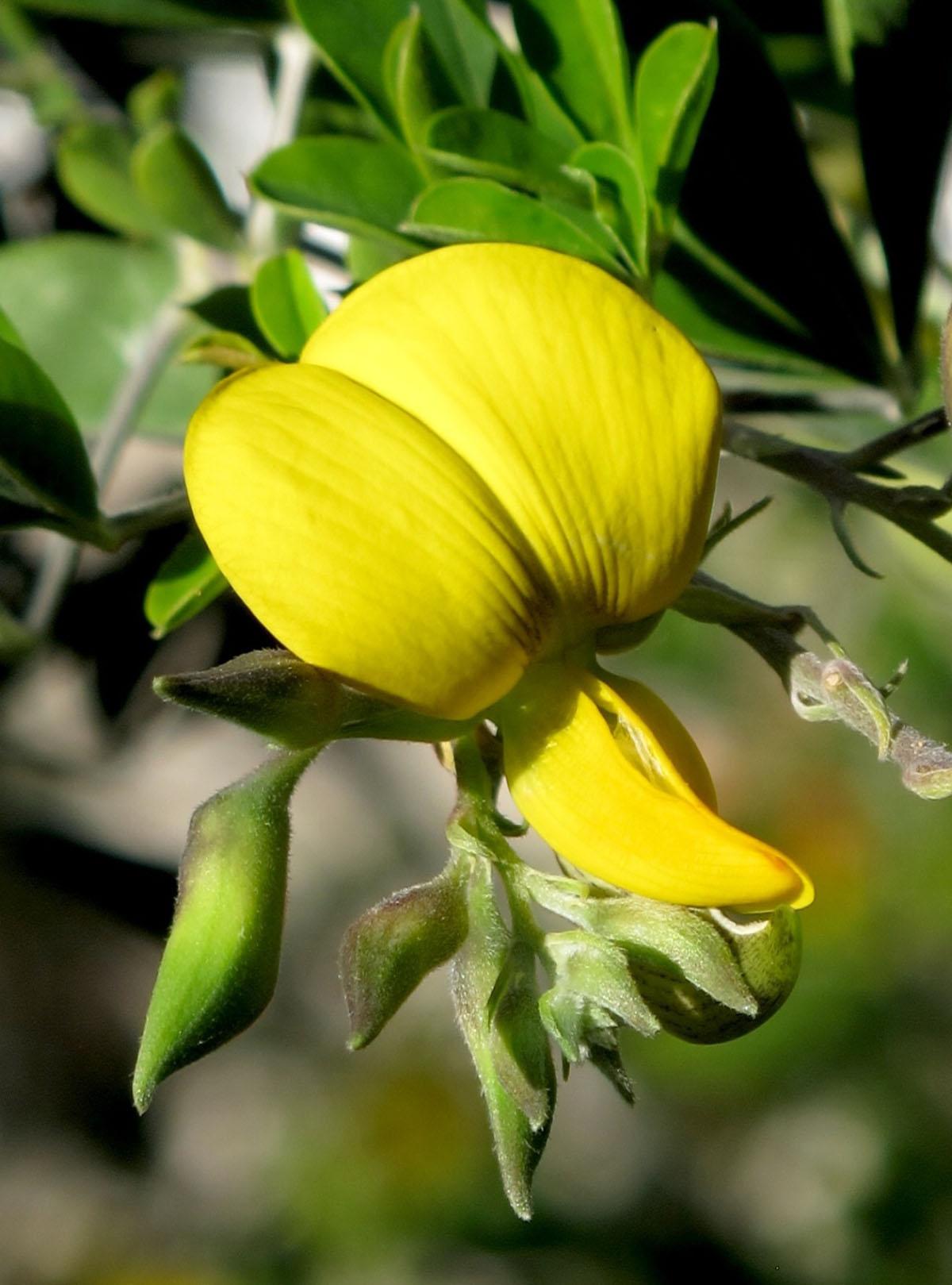 Crotalaria capensis 27