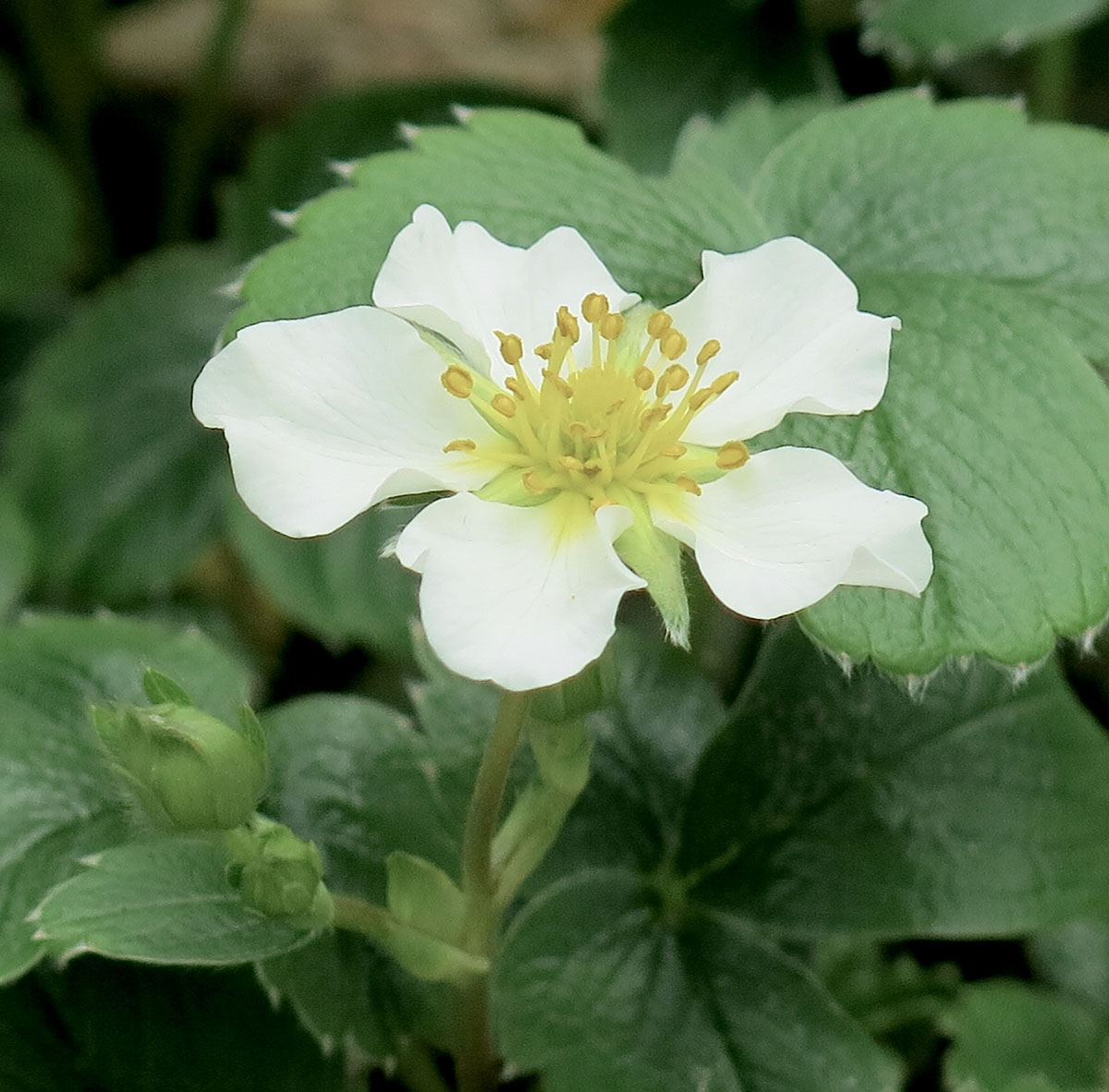 Fragaria chiloensis 5