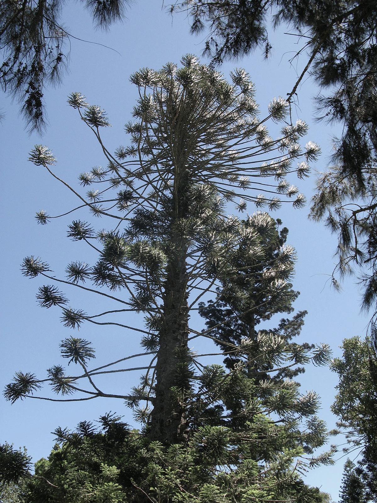 Araucaria-bidwillii-16-