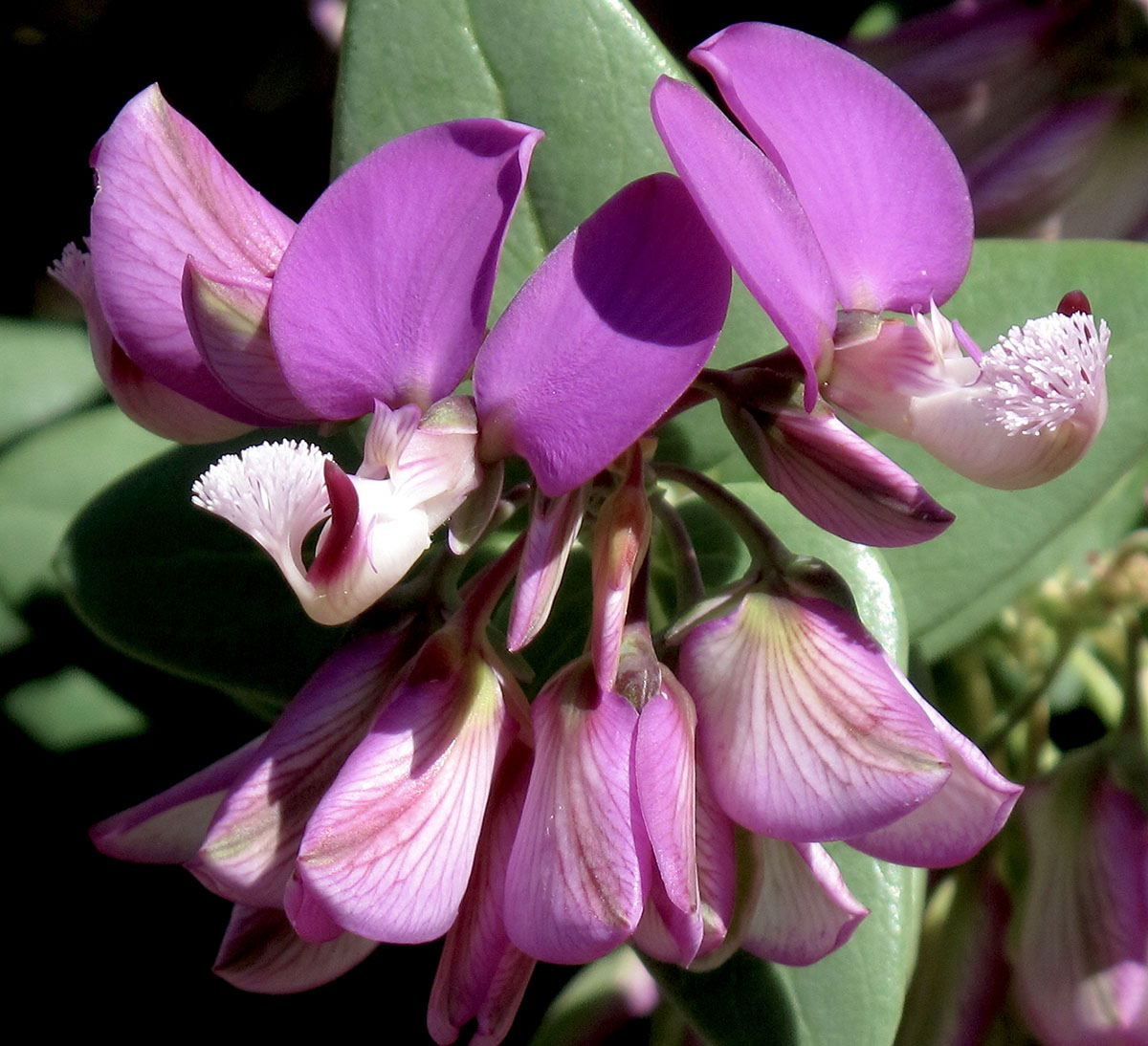 Polygala fruticosa 31