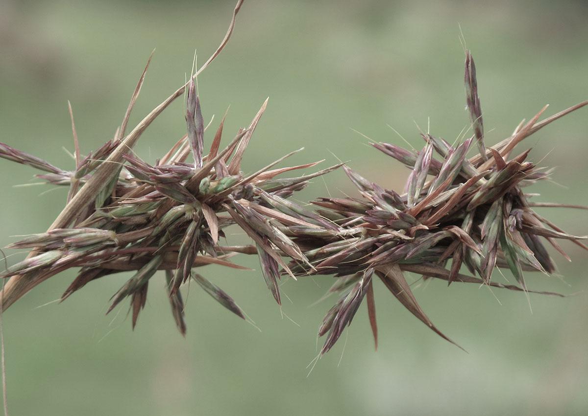 Cymbopogon validus 15