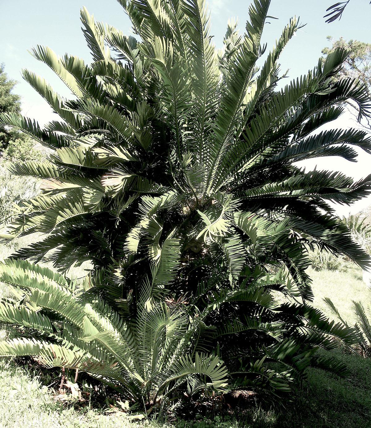Encephalartos lebomboensis 2