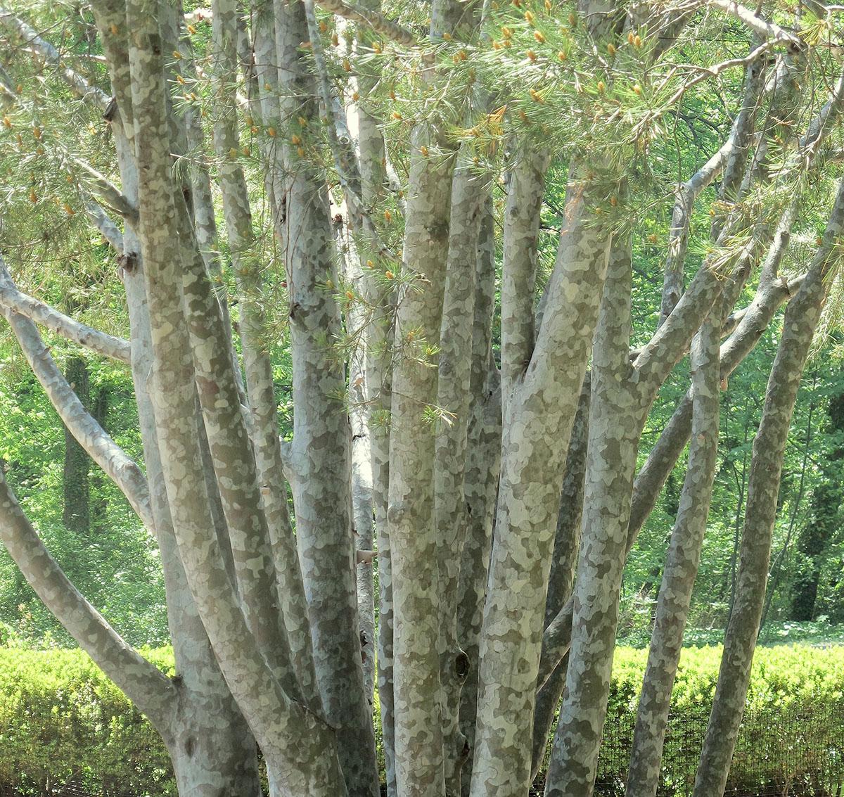 Pinus bungeana 33