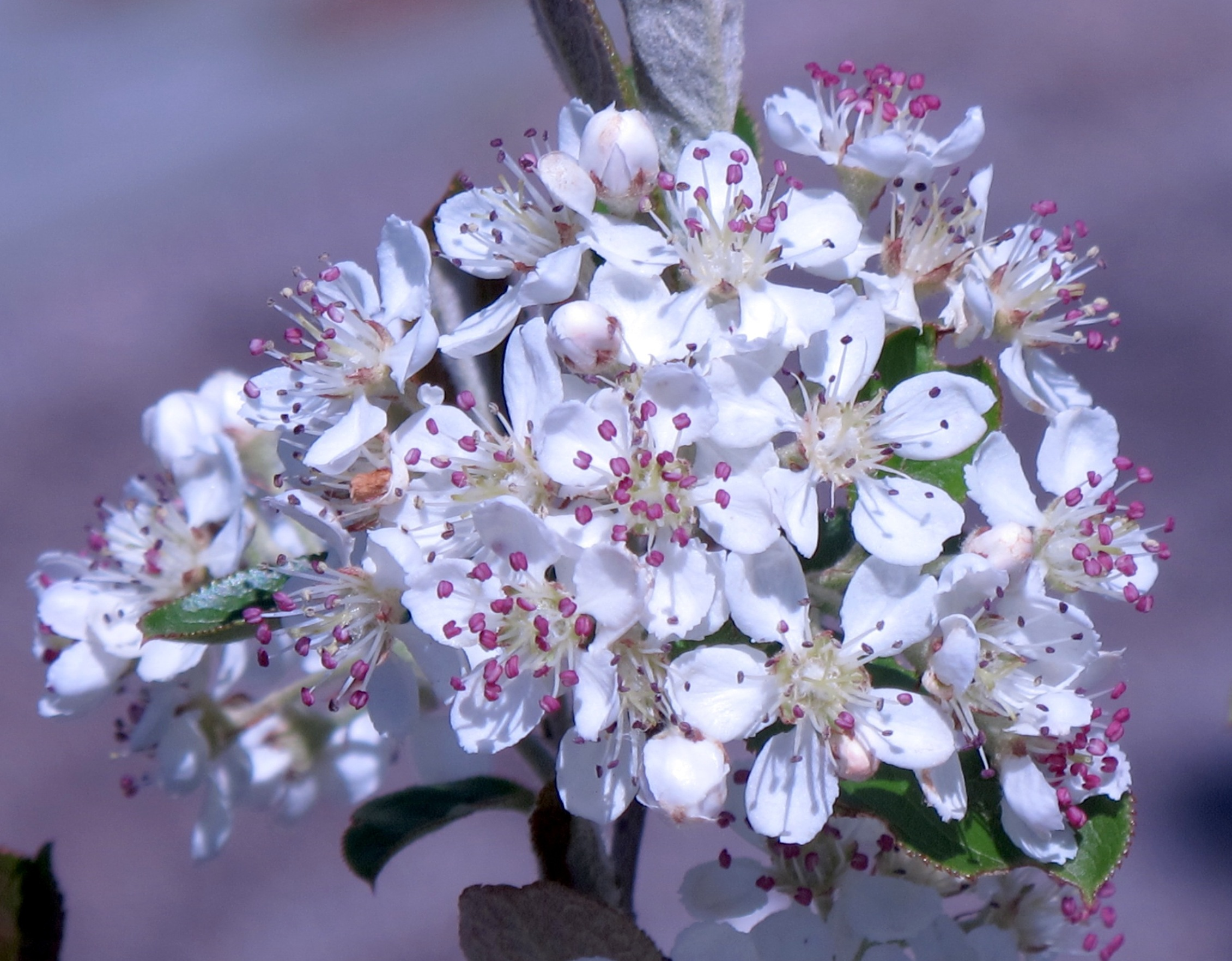 Aronia arbutifolia Brilliantissima 3