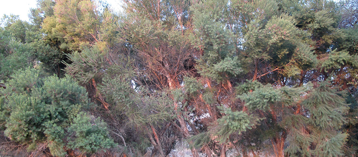 Melaleuca alternifolia 25