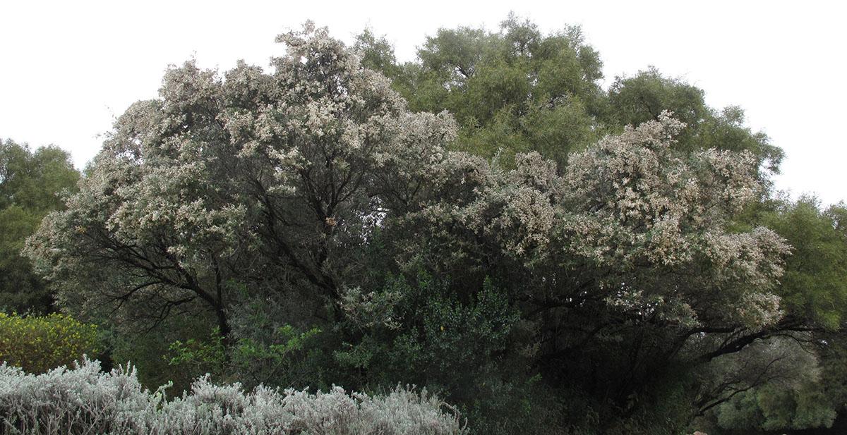 Tarchonanthus camphoratus 14