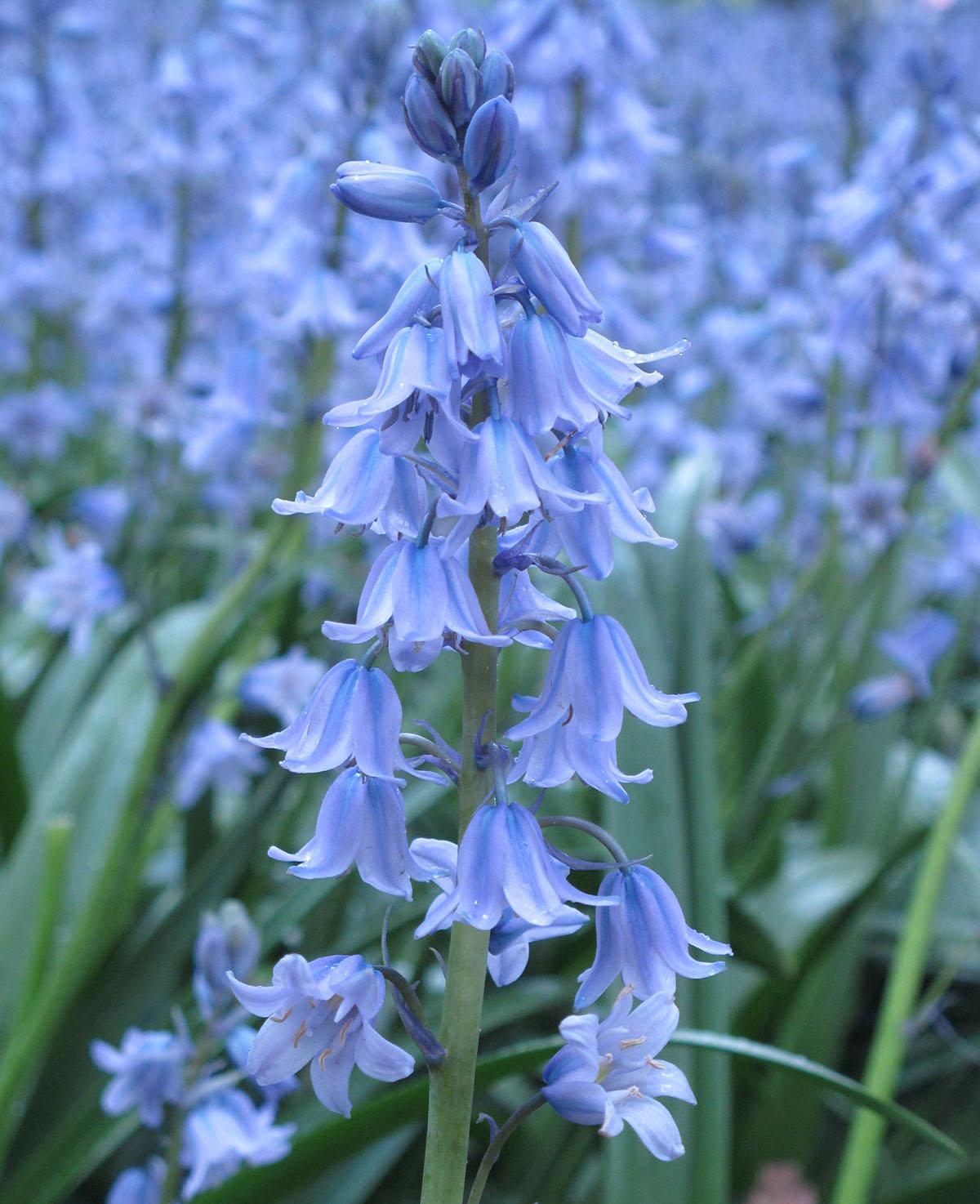 Hyacinthoides hispanica 14