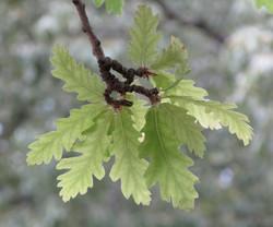 Quercus cerris 6