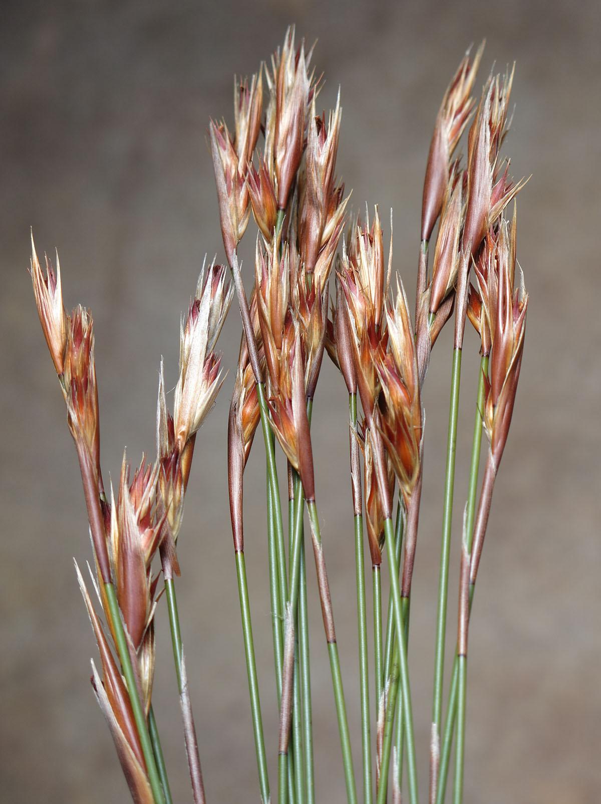 Hypodiscus argenteus 5 (female)