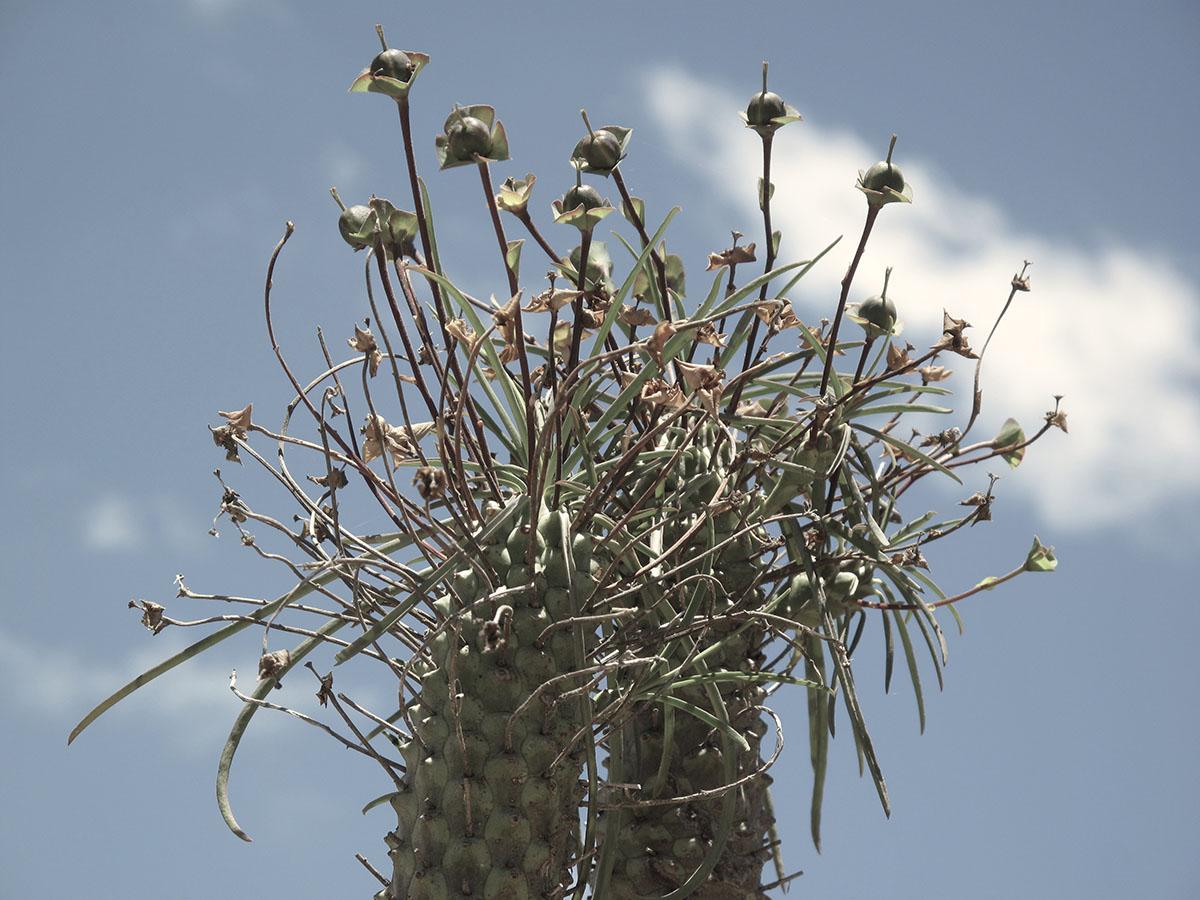 Euphorbia clava 7