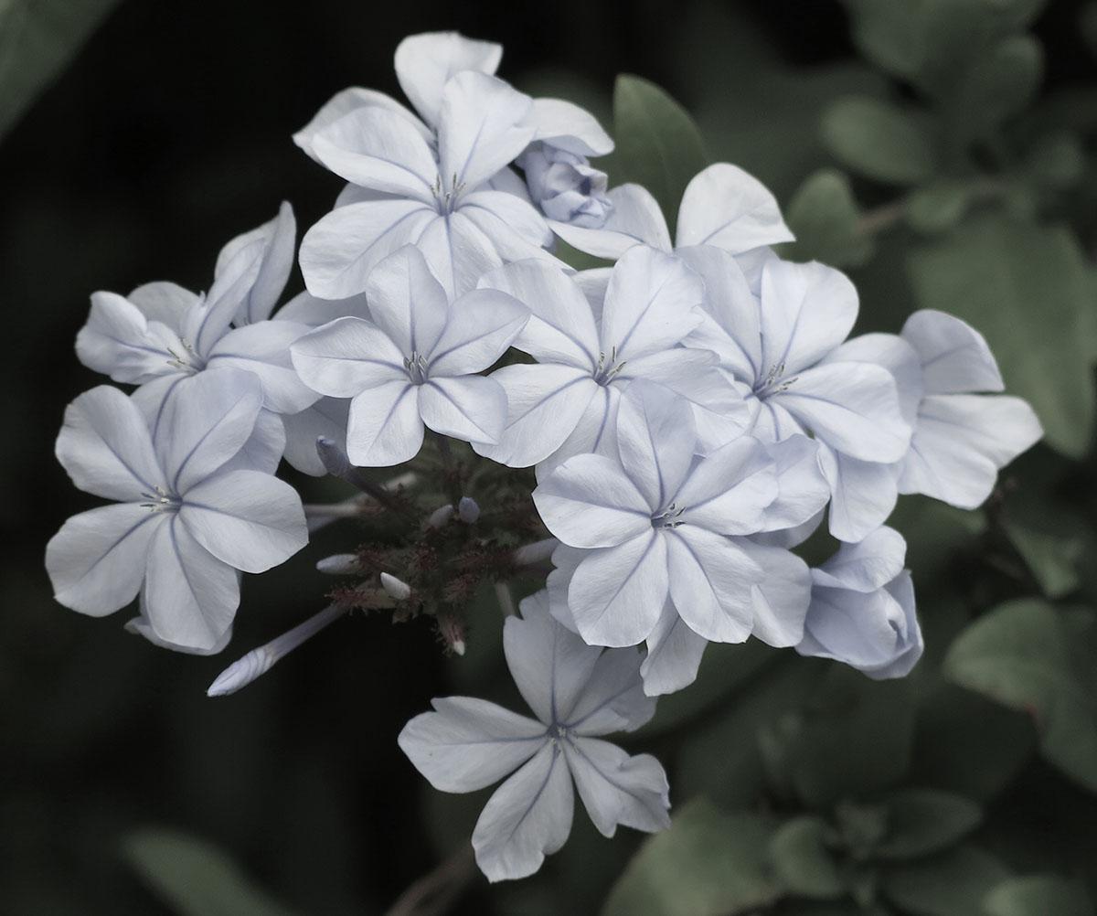 Plumbago auriculata 44