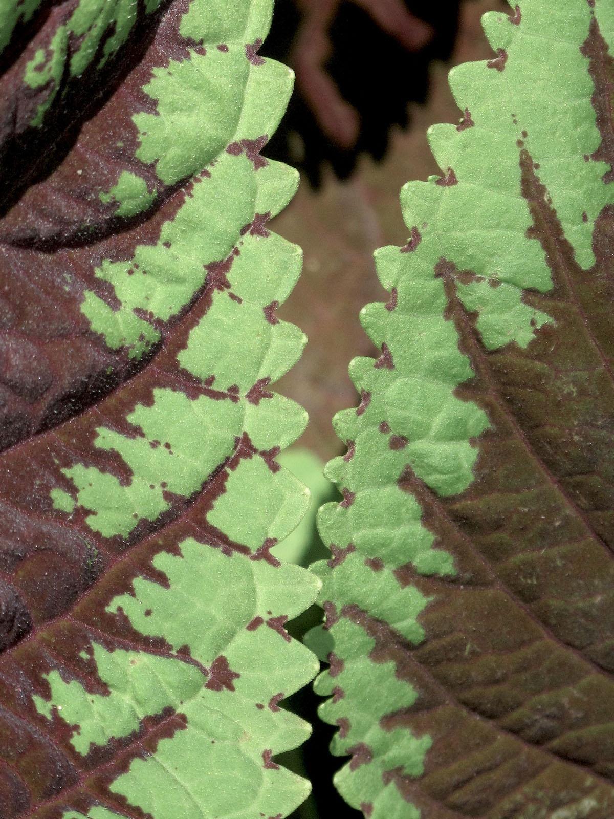 Coleus X hybridus 6