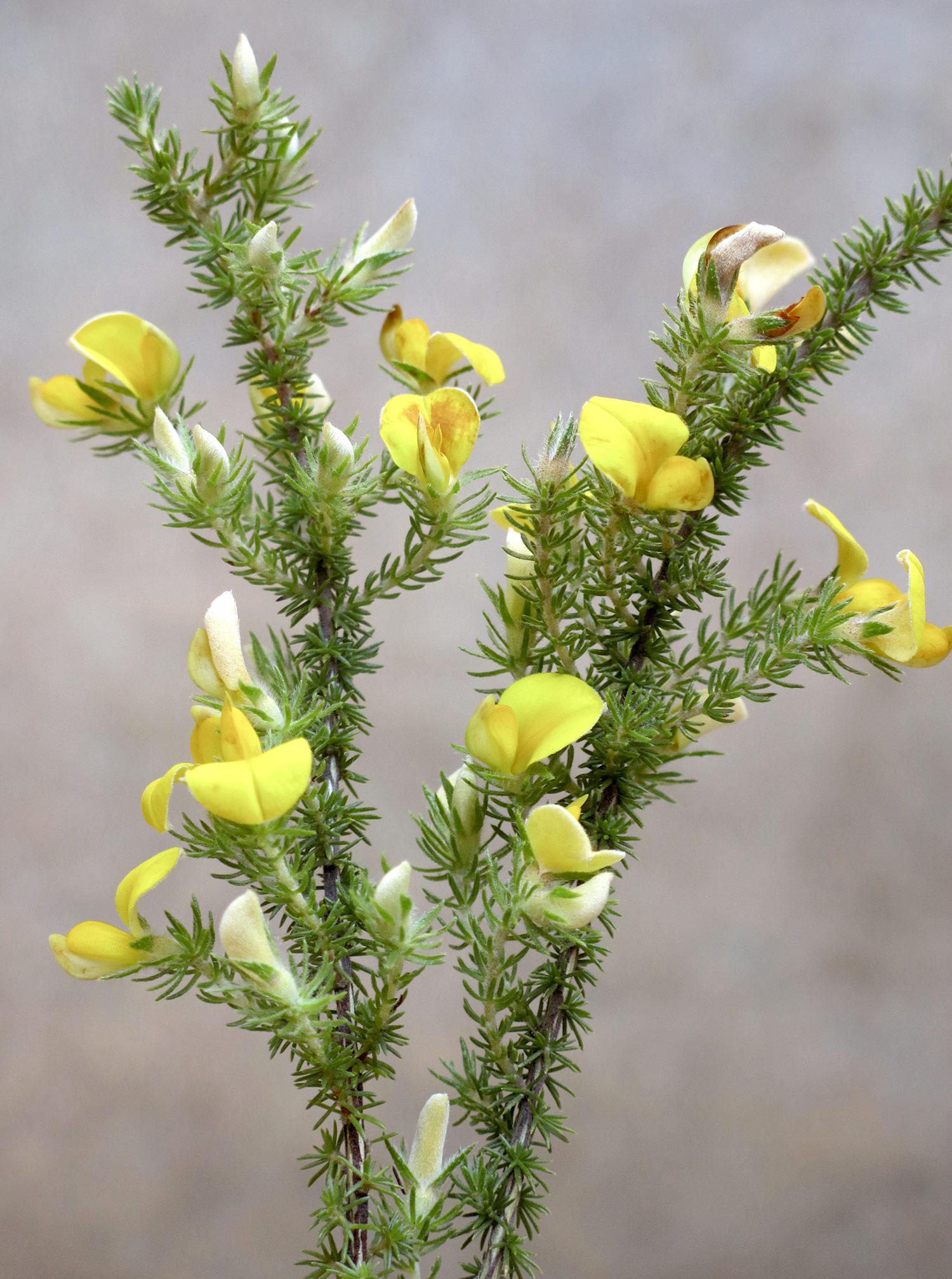 Aspalathus-ciliaris-13-