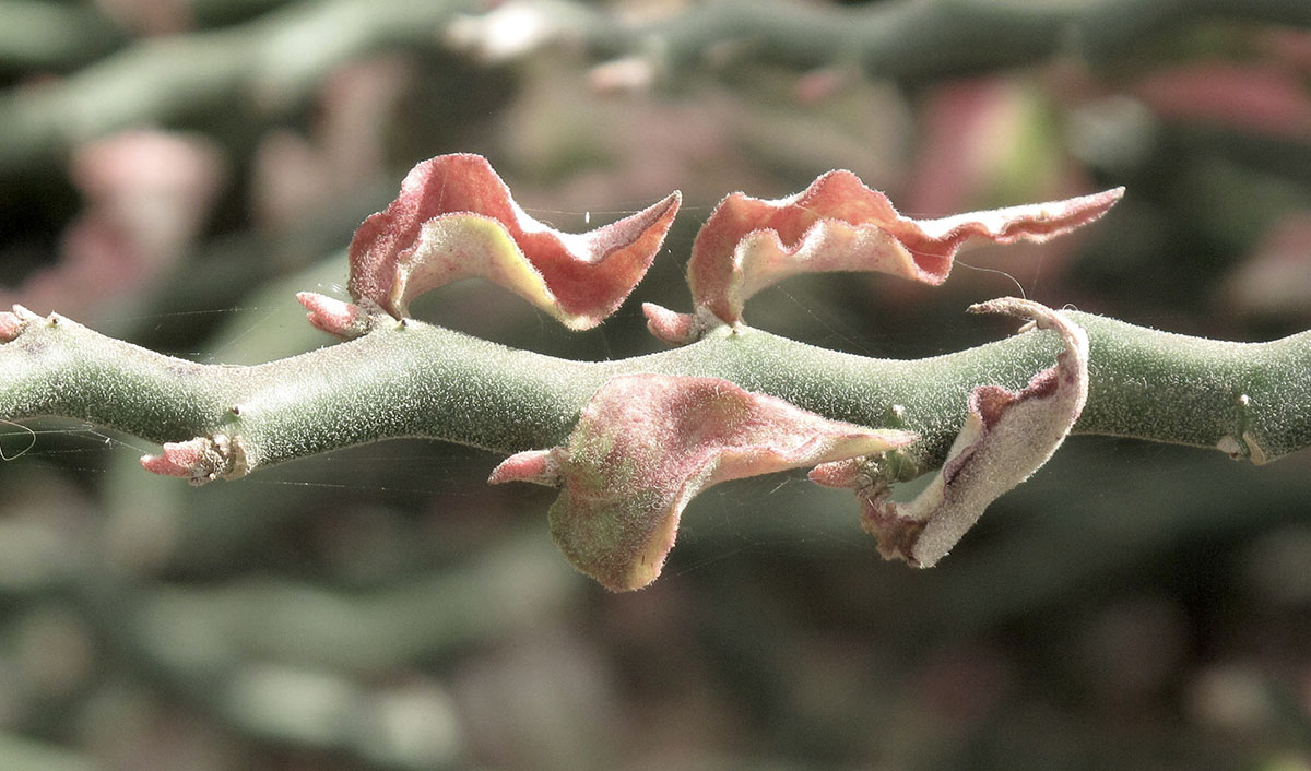 Polemonium caeruleum 3