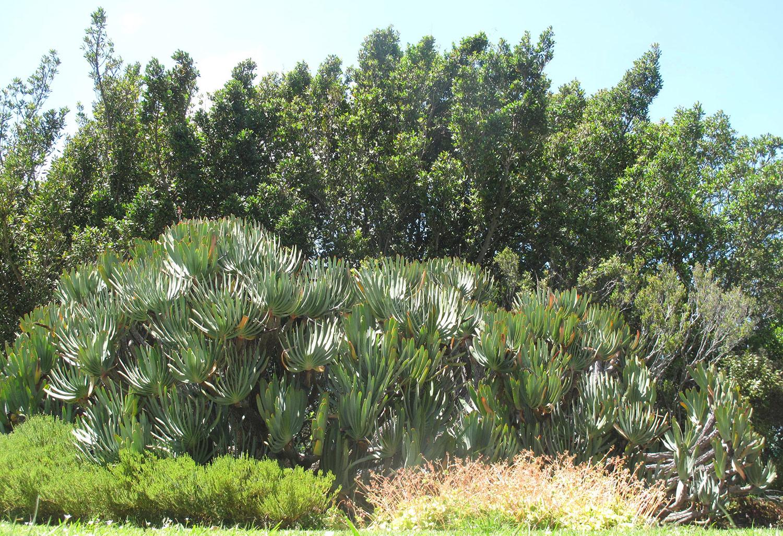 Aloe-plicatilis-47-