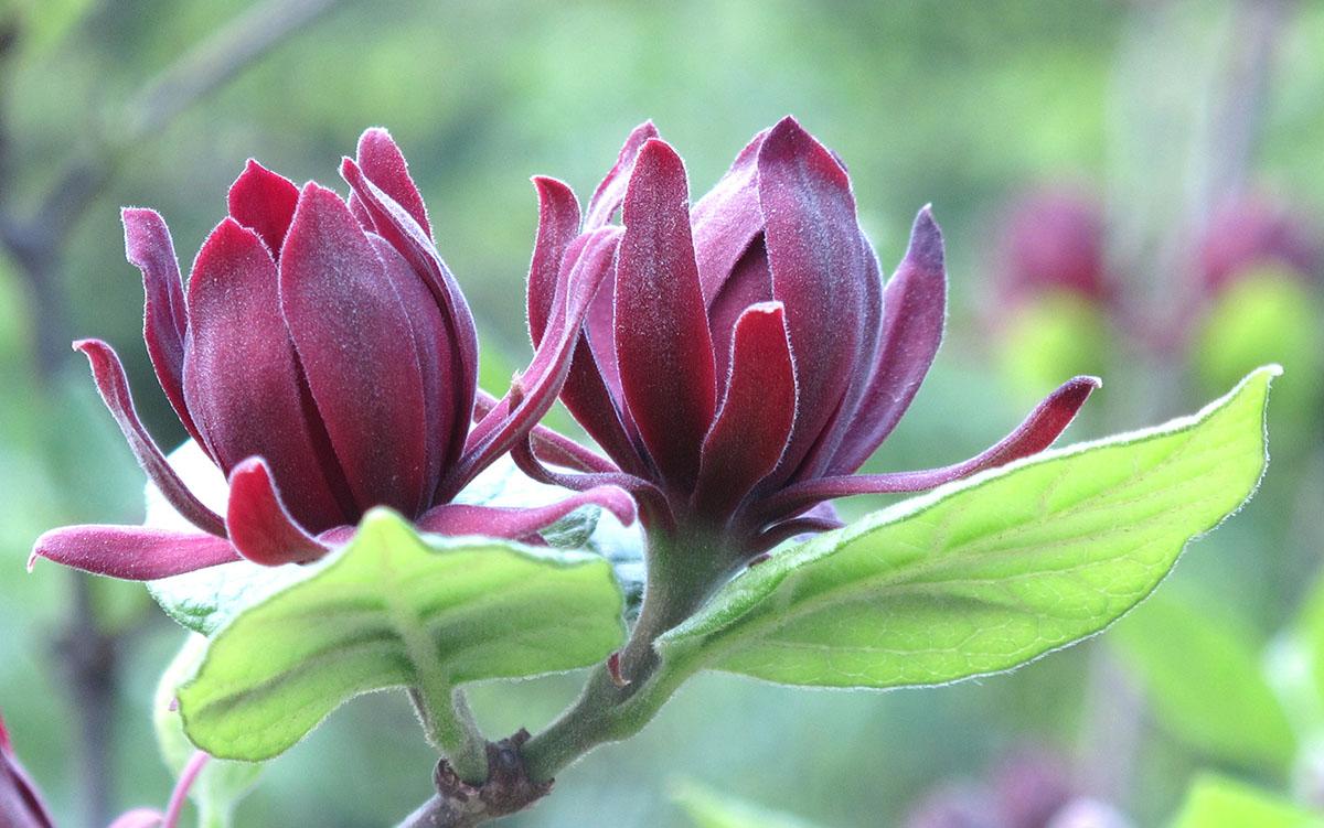 Calycanthus floridus Edith Wilder 6