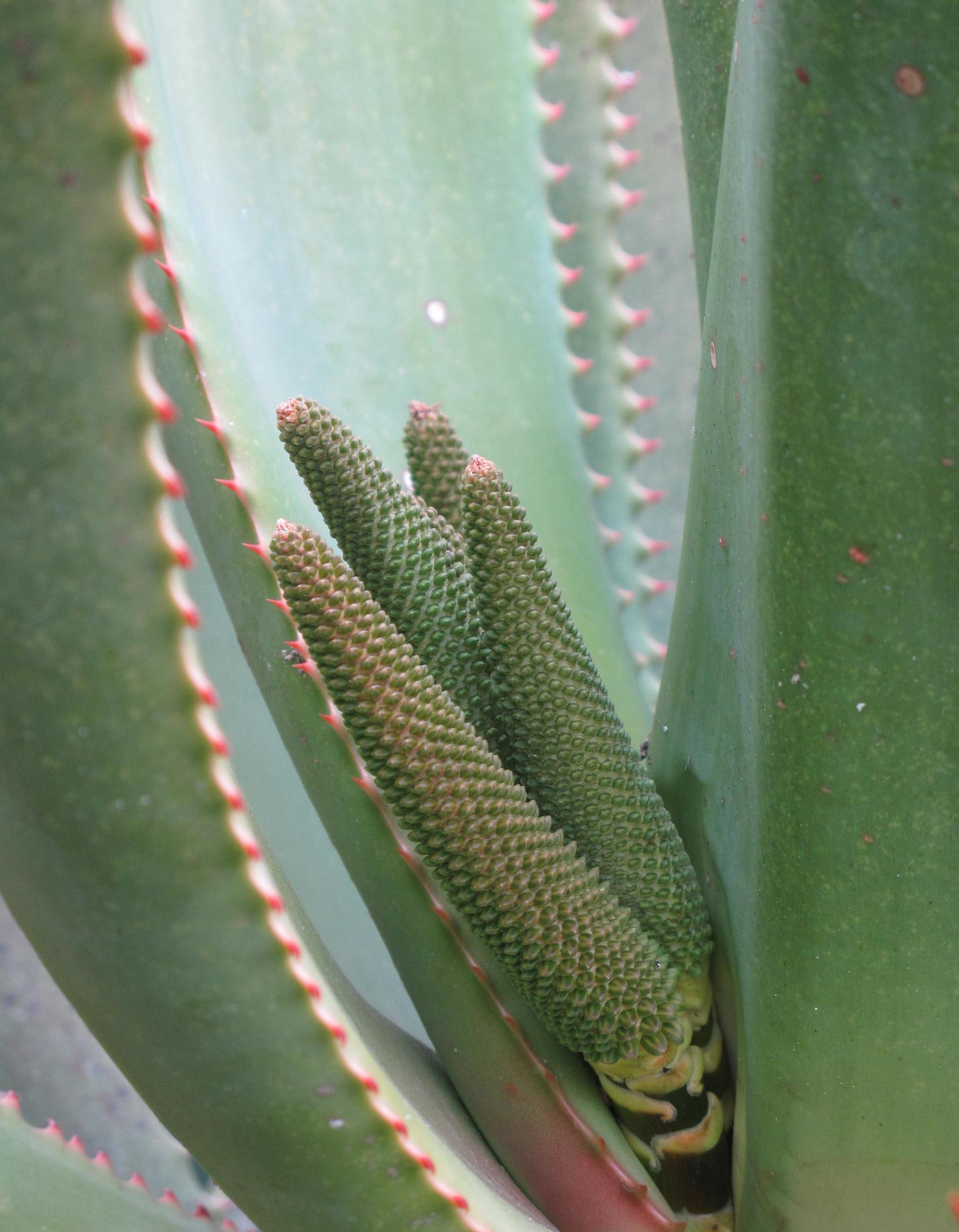 Aloe rupestris 14