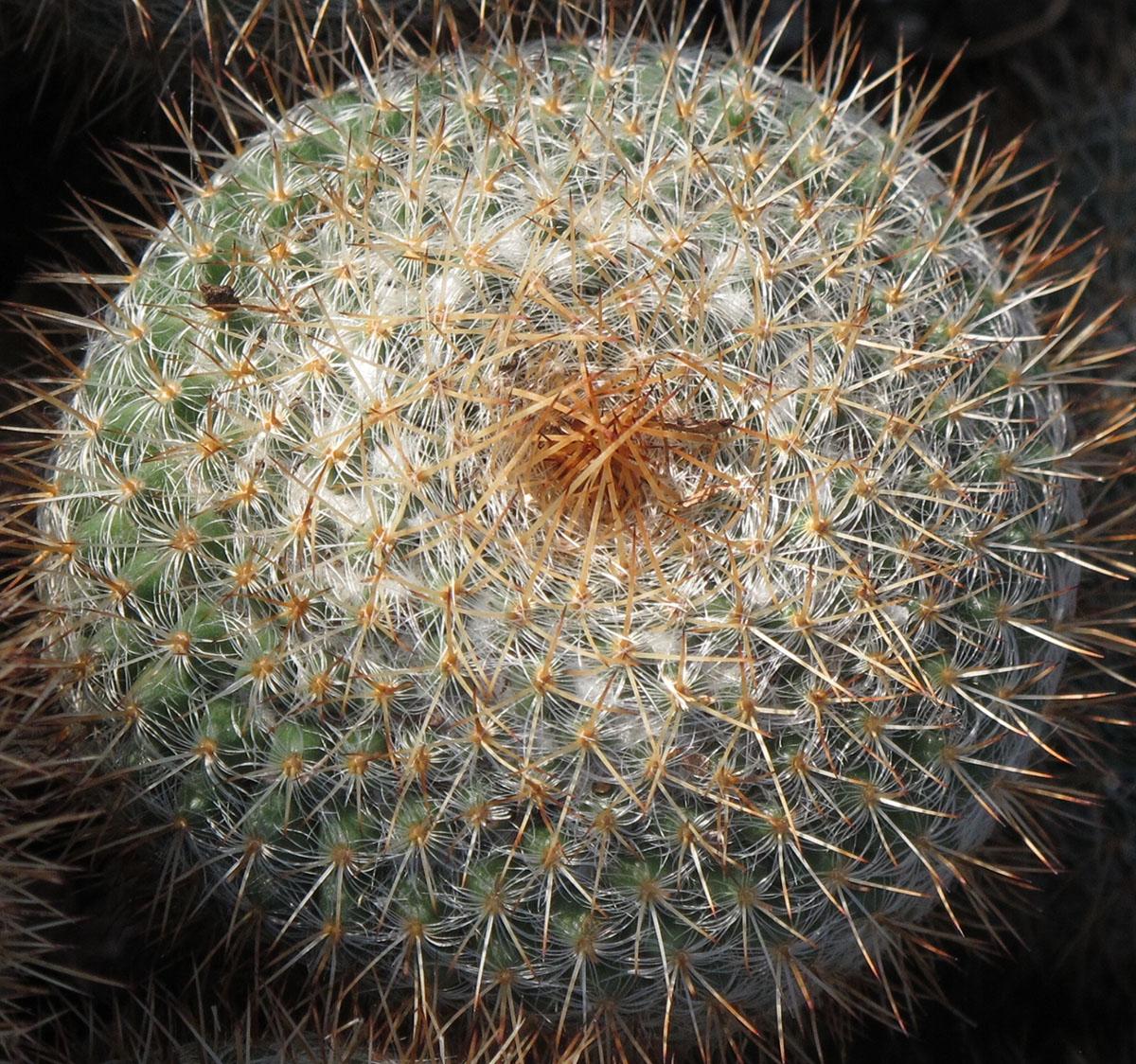 Melocactus ernestii longicarpus 3