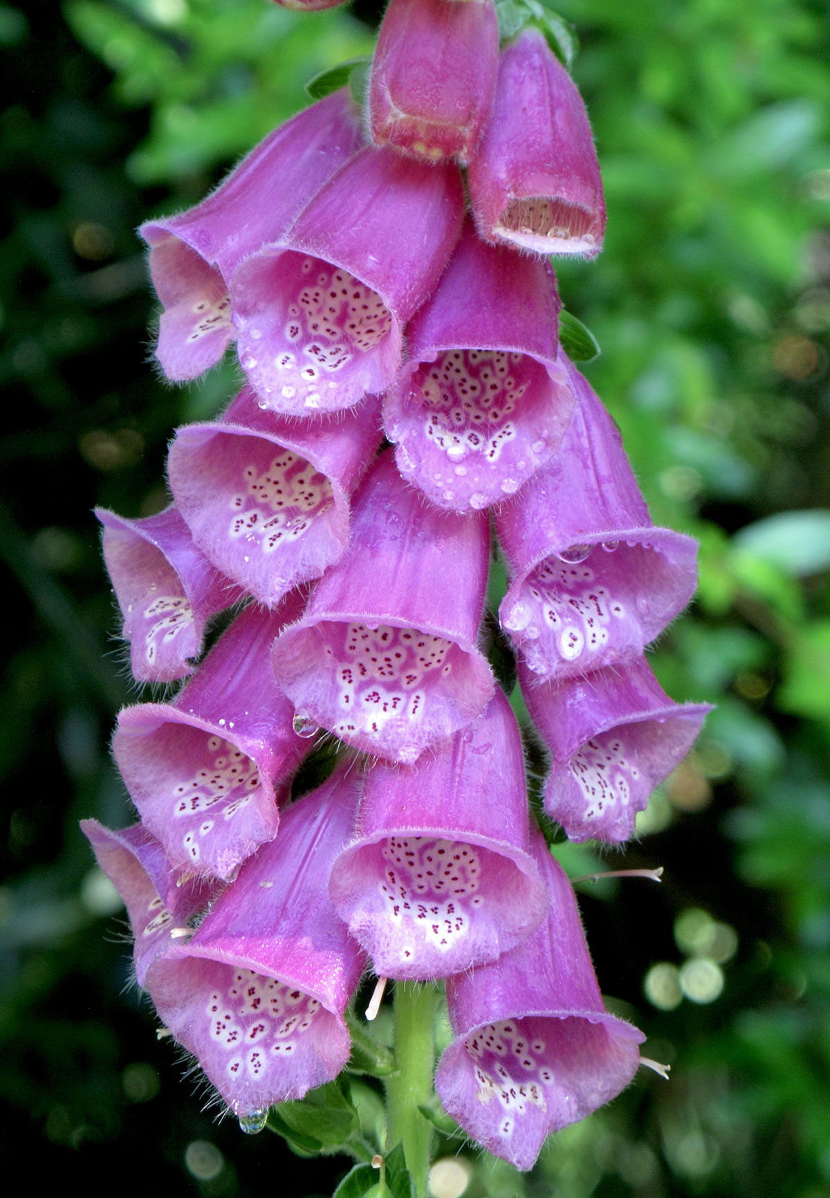 Digitalis purpurea 29