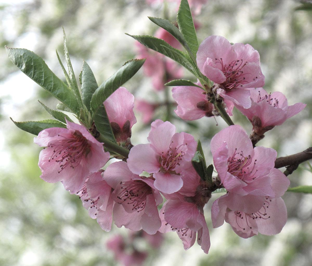 Prunus persica 20