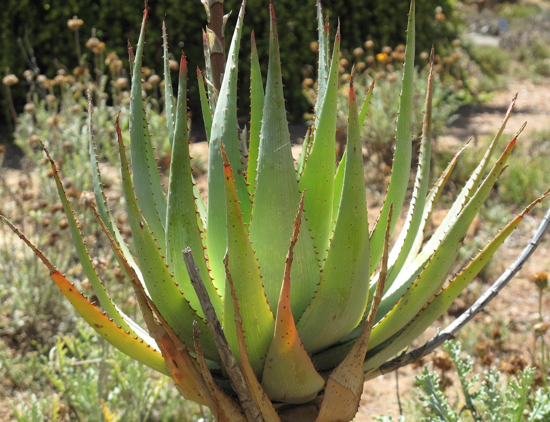Aloe-glauca-12-
