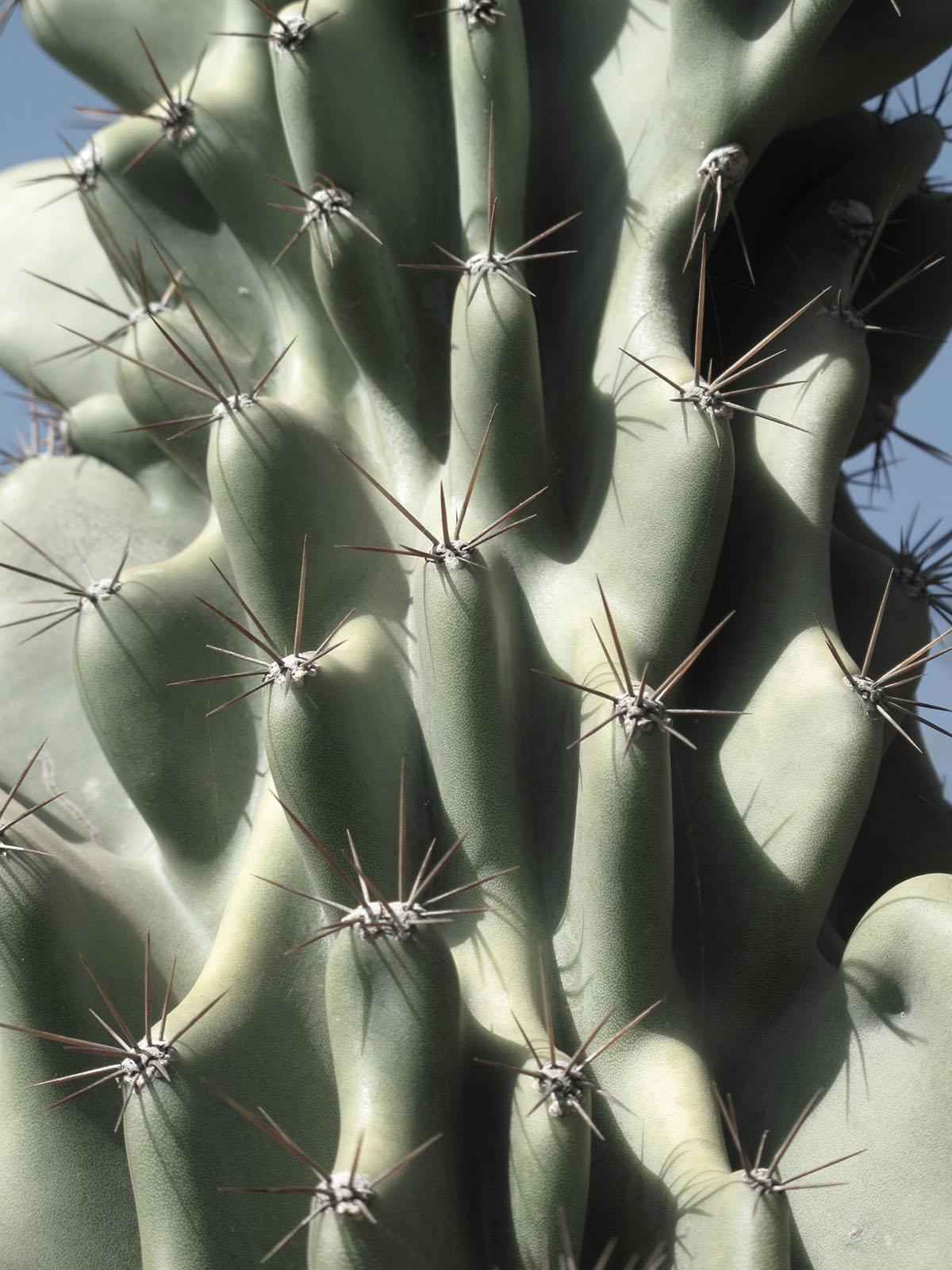 Cereus hildmannianmus 'Monstrous' 14