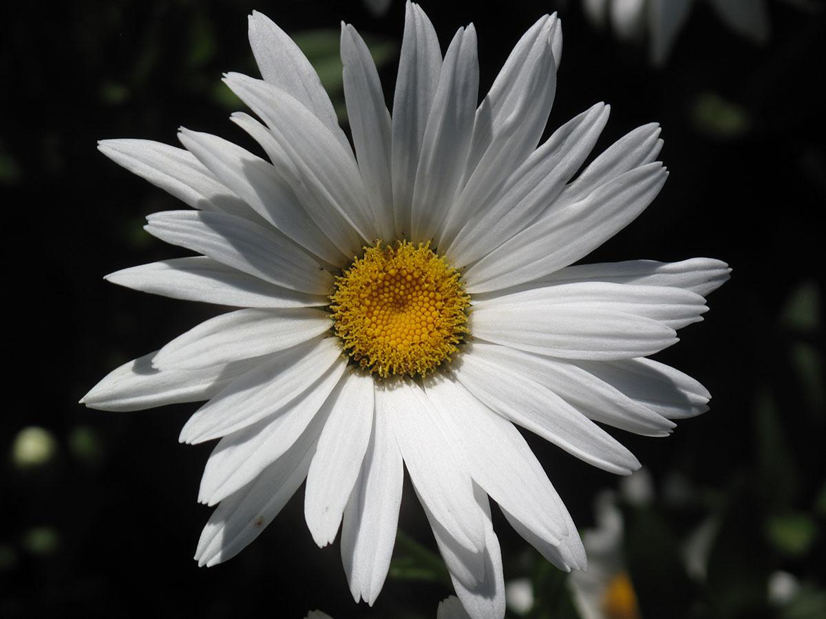 Leucanthemum maximum 7