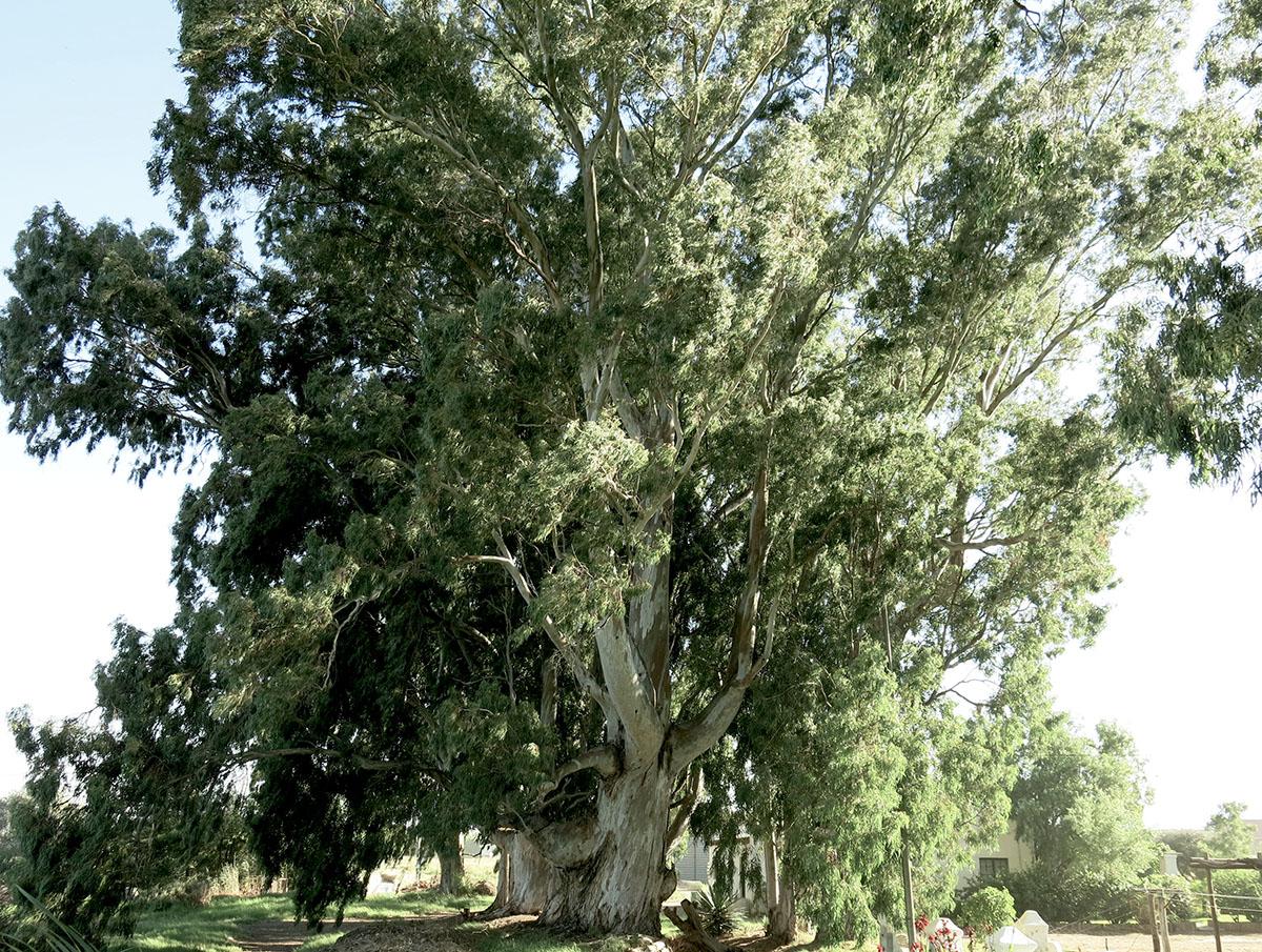 Eucalyptus camaldulensis 86