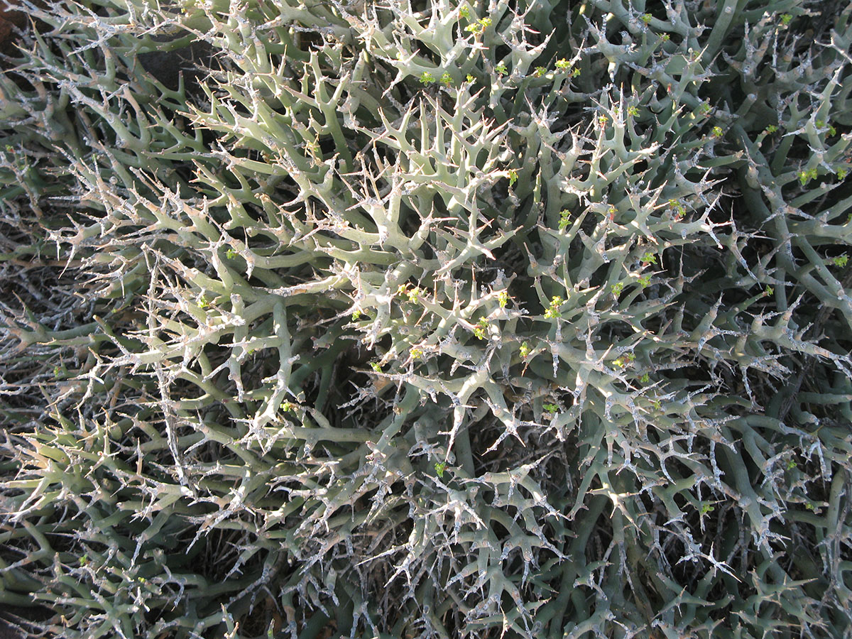 Euphorbia lignosa 18