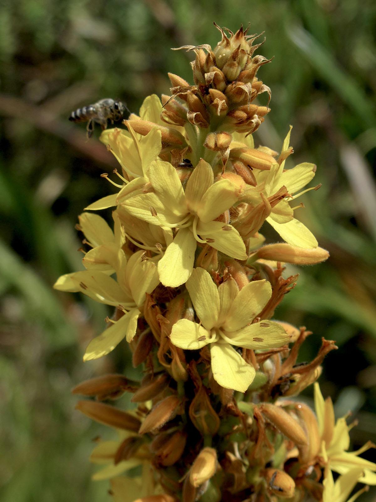 Wachendorfia thyrsiflora 45