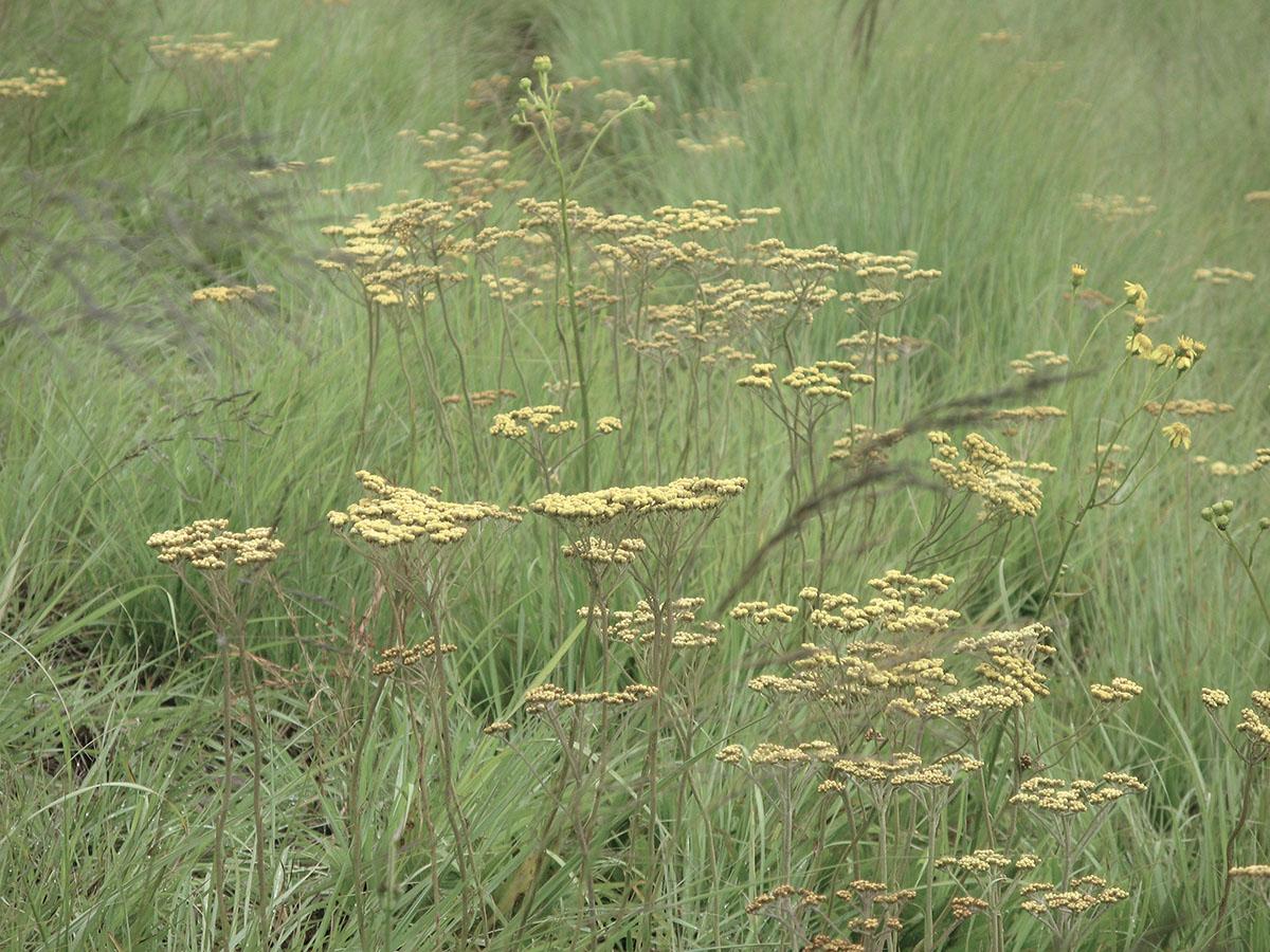 Helichrysum pilosellum 6