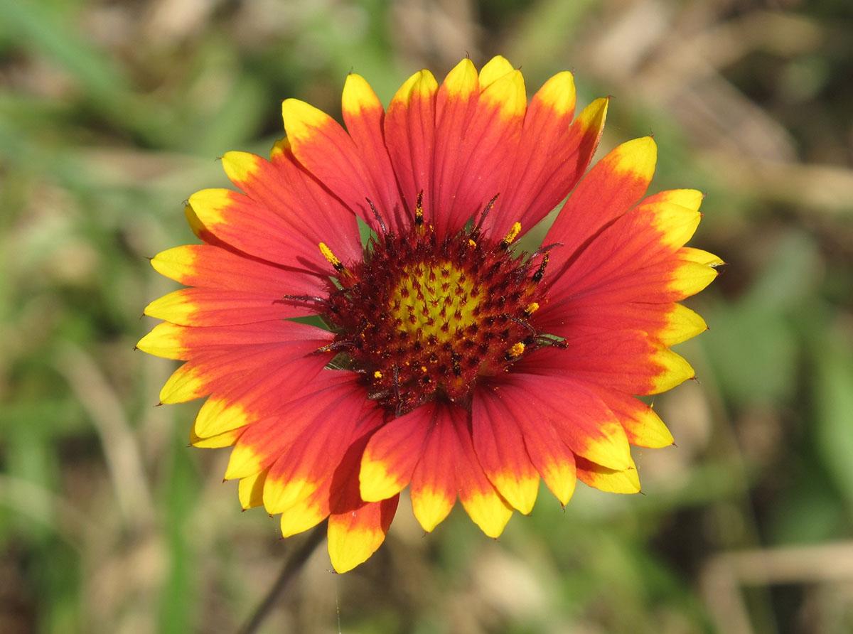 Gaillardia X grandiflora 8