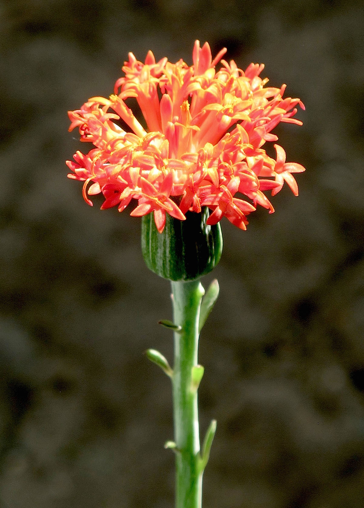 Kleinia fulgens 12