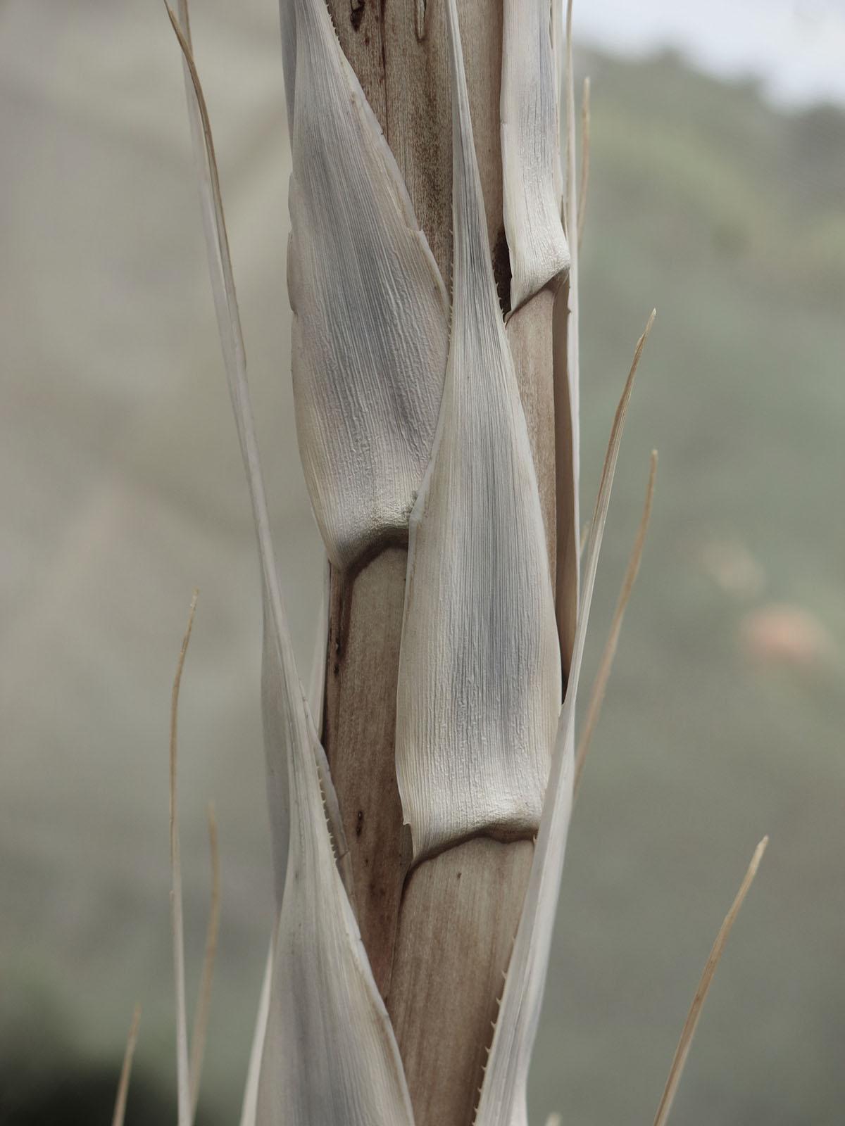 Dasylirion glaucophyllum 12