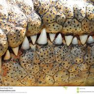 Dentato-serrate-5--Crocodile-teeth-.jpg