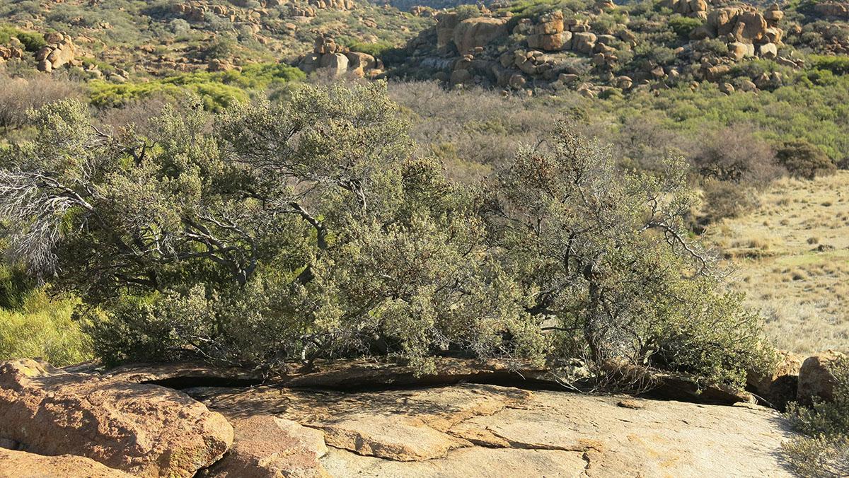Diospyros astro-africana microphylla 48