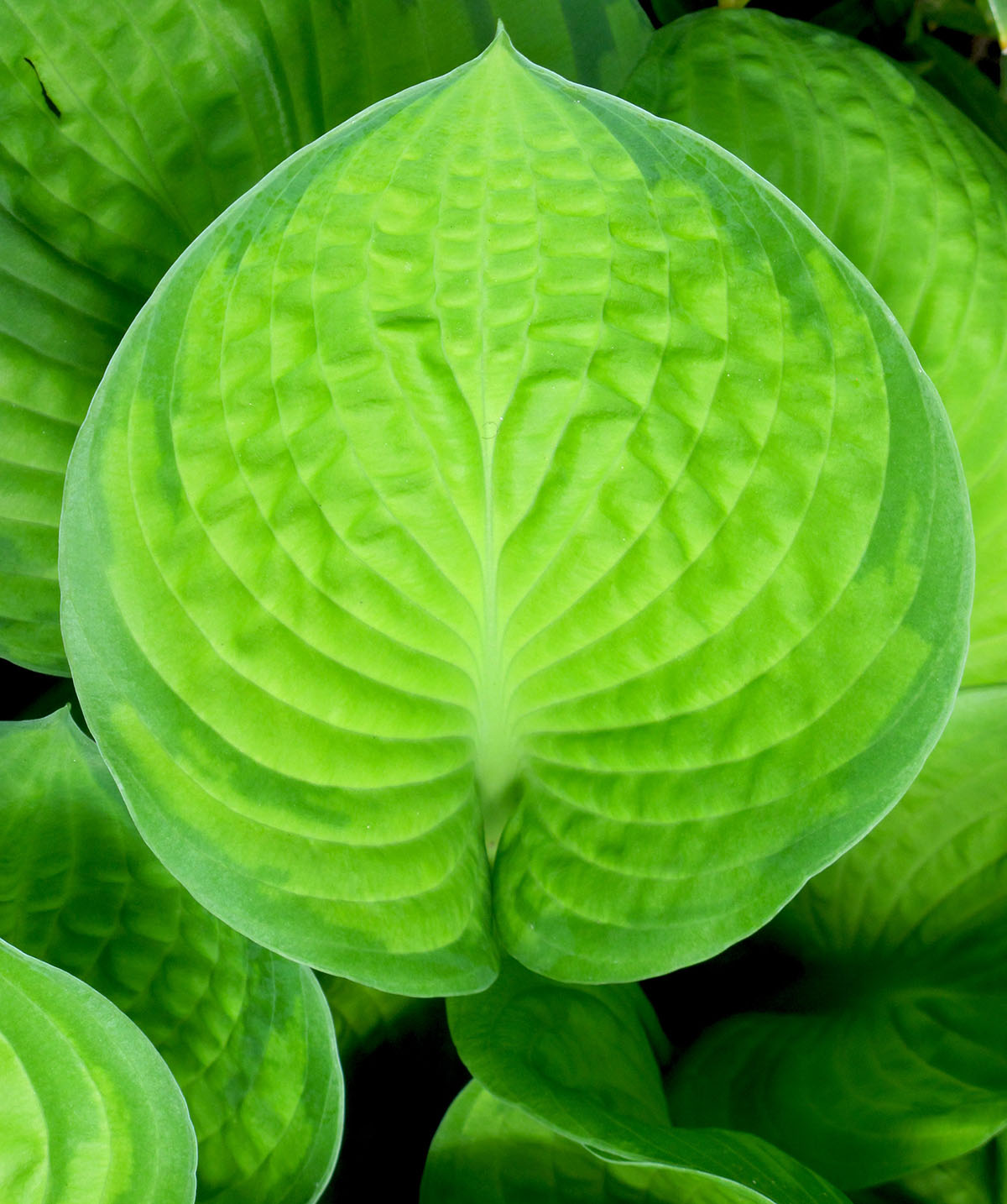 Hosta Rainforest Sunrise 3