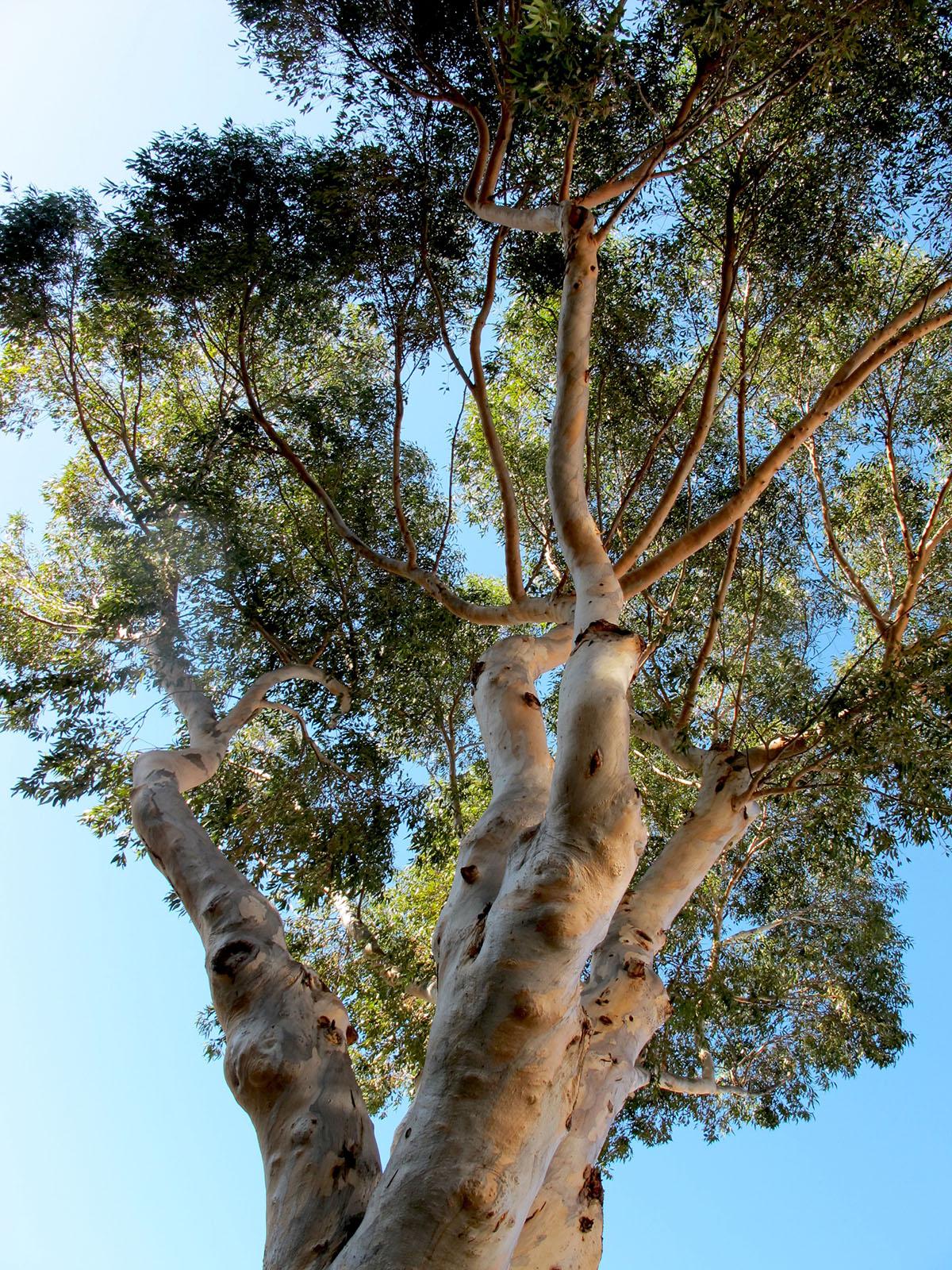 Eucalyptus camaldulensis 76